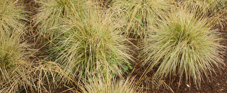 Considering Ornamental Grasses? Try 'Northern Lights'
